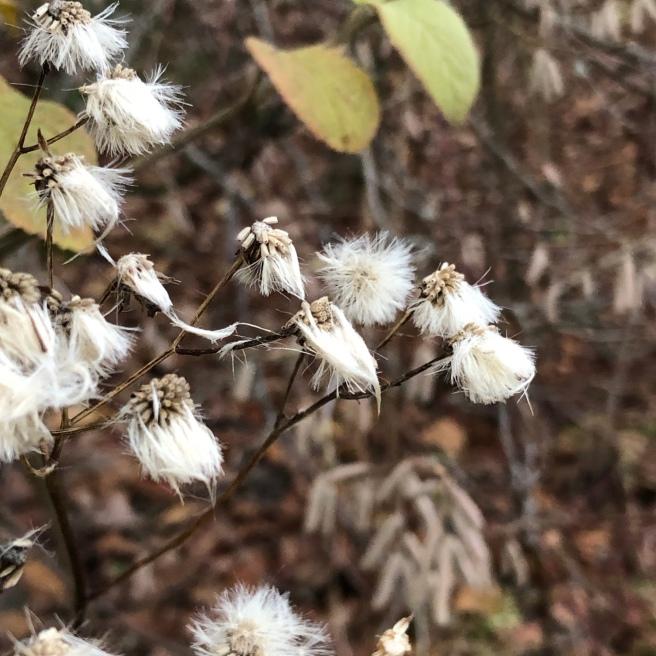 An den dörren, verzweigten Stielen einer Blume, die Samen mit weissen Fasern bildet, hängen die weissen Fasern nass und strub.