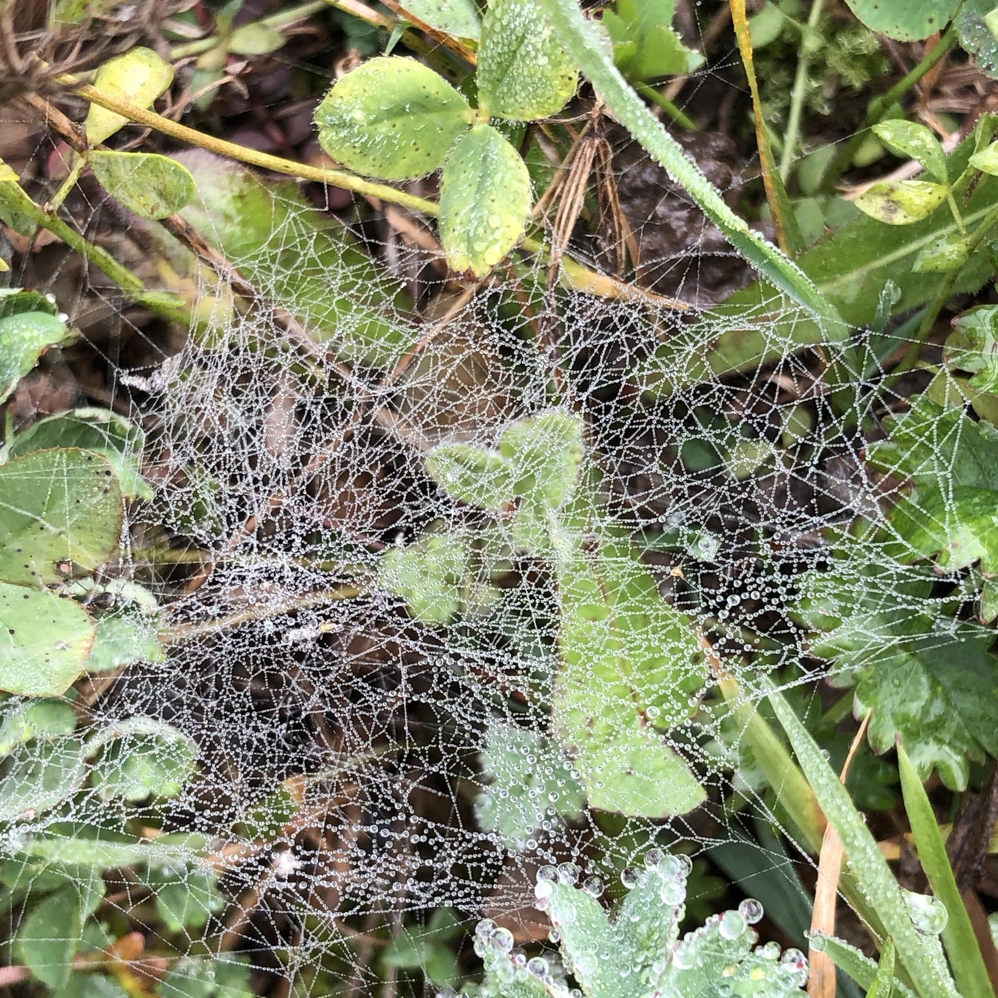 Zwischen Grashalmen ein dichtes Spinngewebe voll von kleinen Tropfen, die der Nebel hinterlassen hat.
