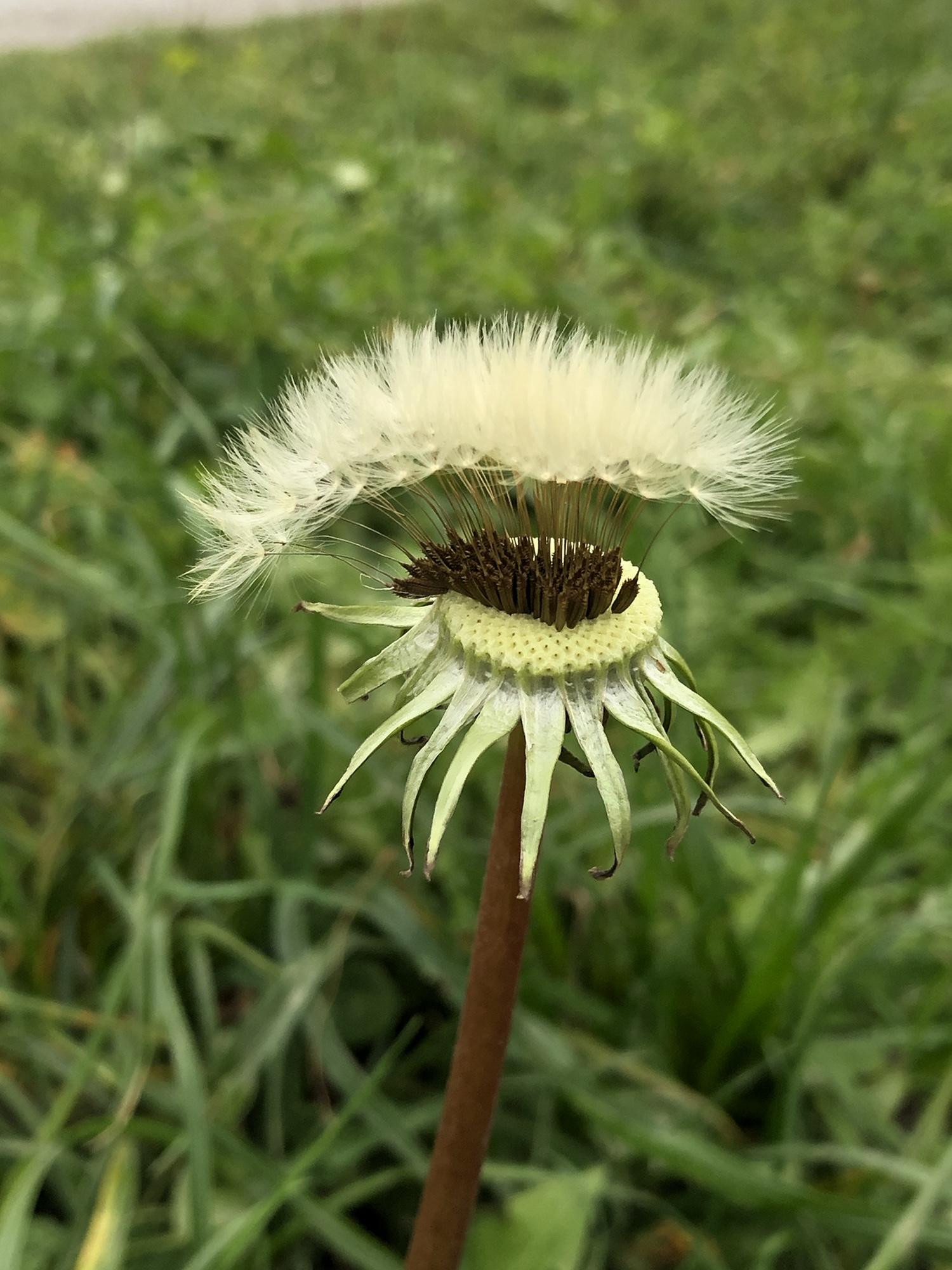 Die Samen des Löwenzahnes stehen nur noch als fingerbreiter Streifen auf dem sonst kahlen Kopf.