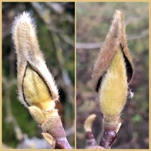 Collage mit zwei Magnolienknospen. Links öffnet sich über der pelzigen Knospe die pelzige Hülle. Rechts ist die Hülle vertrocknet und liegt noch wie ein Hut auf der Knospe. Es sind zwei verschiedene Knospen.