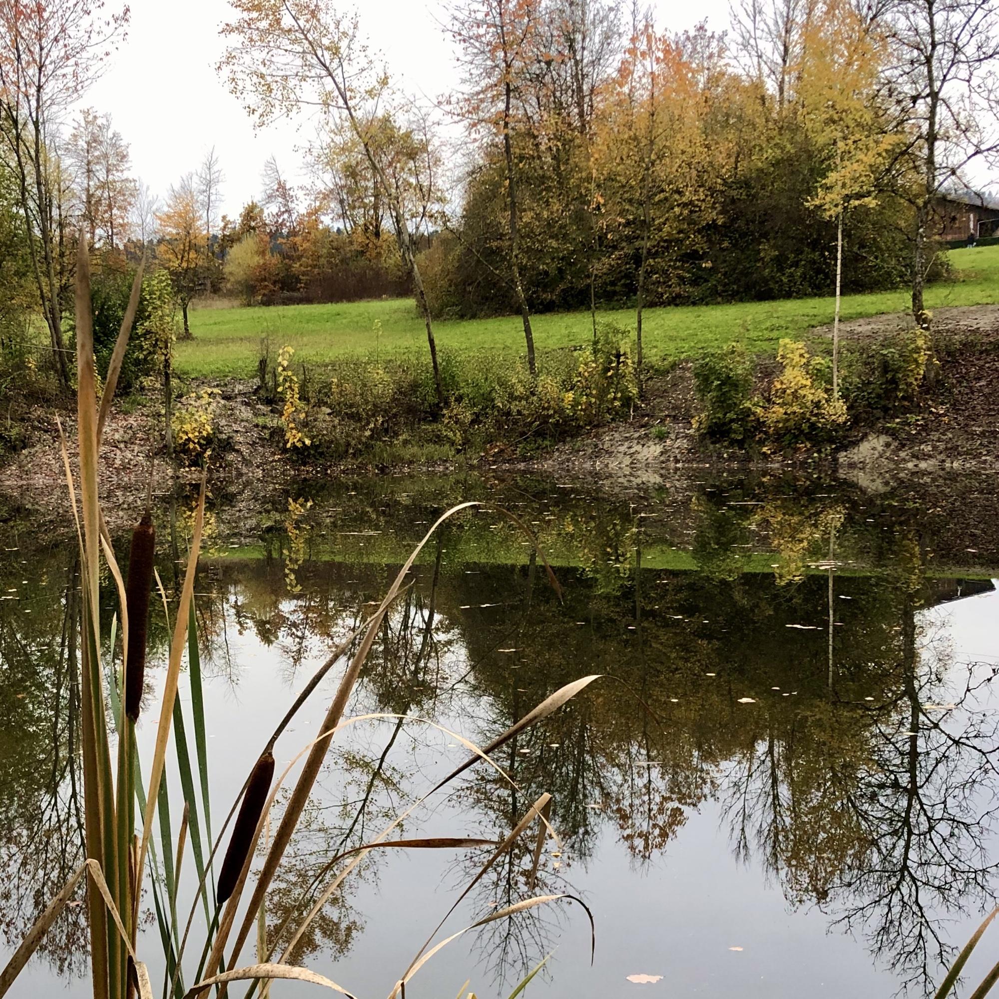 Teich mit Schilfblättern. Die Bäume im Hintergrund spiegeln sich im Wasser.