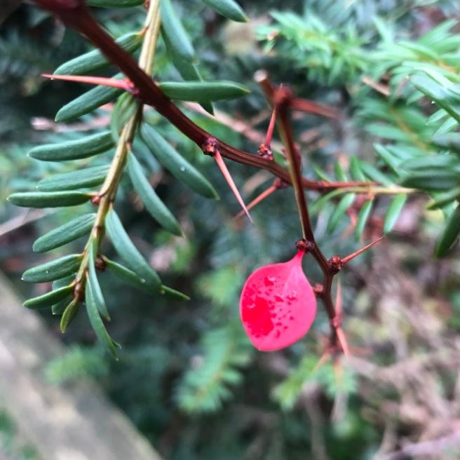 Ein grüner Eibenzweig von oben links, von rechts die spitzen Dornen der kahlen Berberitze, an der noch ein einziges, leuchtend rotes Blatt hängt. Auf dem Blatt glänzende Reste von Regentropfen.