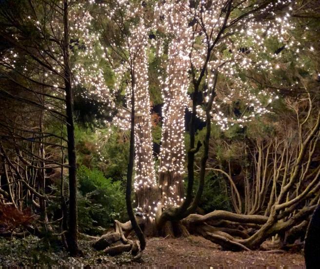 Ein grosser Thujabaum mit mehreren Stämmen und ausladenden Ästen , beleuchtet durch dichte Lichterketten den Ästen und Stämmen entlang .