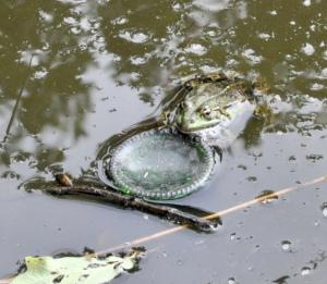 Im trüben Teich stützt sich ein Frosch auf dem Boden einer grünen Flasche ab.