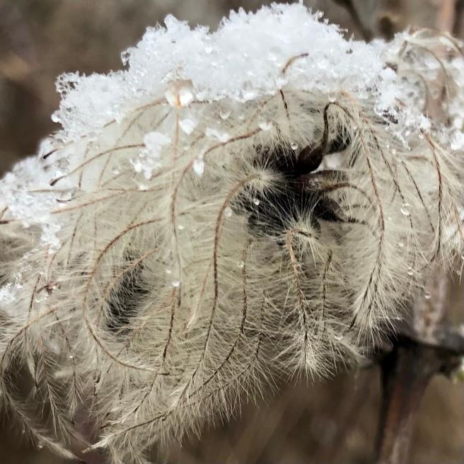 Samenstand der Waldrebe mit nassem Schnee als Mütze