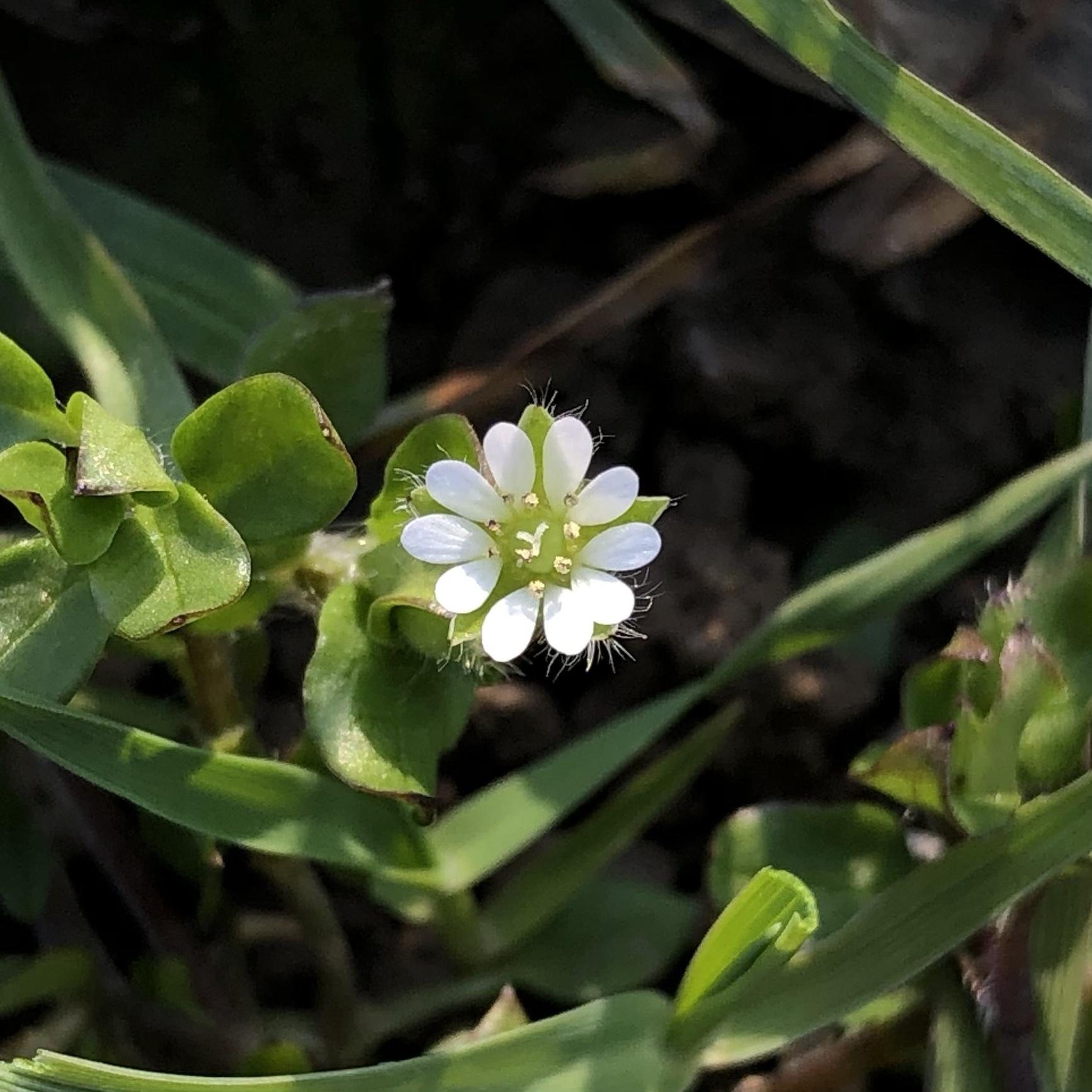 Kleine weisse Blüte der Vogelmiere, so stark vergrössert, dass Häärchen sm Blüternrand sichtbar sind.